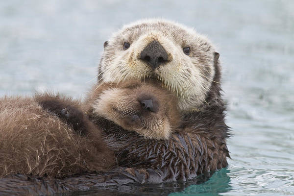 Stomach Photograph - Female Sea Otter Holding Newborn Pup by Milo Burcham