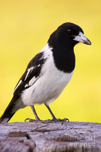Farmyard Photograph - Fencepost Magpie by Jorgo Photography - Wall Art Gallery