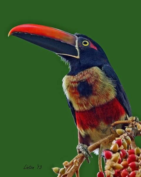 Photograph - Fiery-billed Aracari by Larry Linton