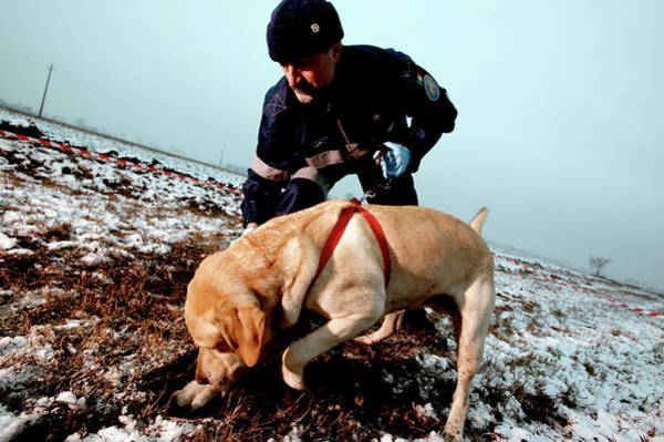 Dog Training Photograph - Finding Human Remains by Mauro Fermariello/science Photo Library