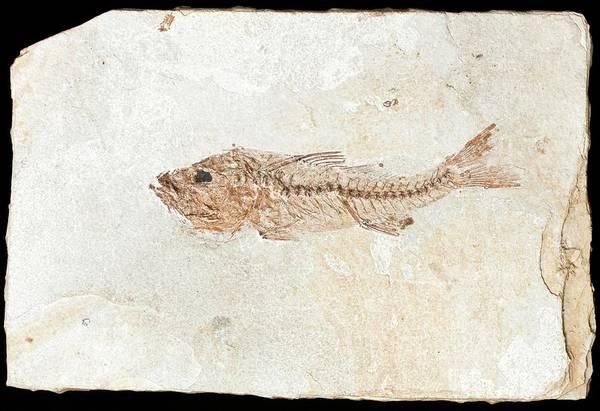 Fish Fossil Art Print