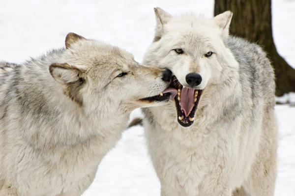 Photograph - Flirting Wolves by Gary Slawsky