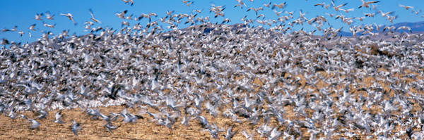Wall Art - Photograph - Flock Of Snow Geese Chen Caerulescens by Panoramic Images