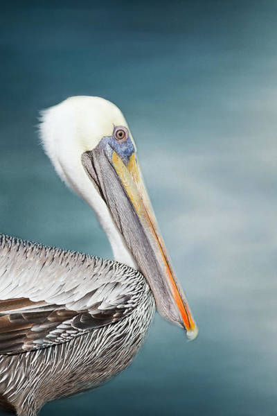 Wall Art - Photograph - Florida Brown Pelican  by Kim Hojnacki