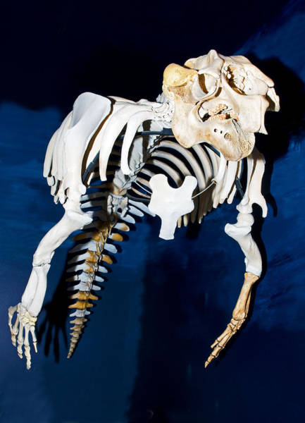 Photograph - Florida Manatee Skeleton by Millard H Sharp