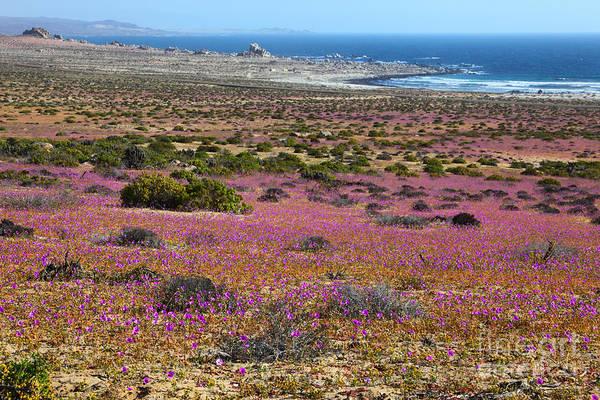 Photograph - Flowering Desert In Chile by James Brunker