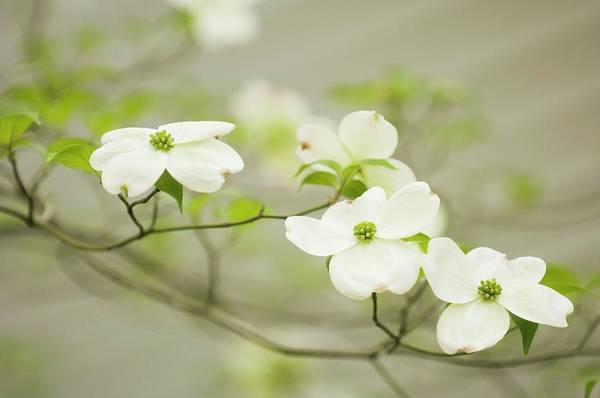 Dogwoods Photograph - Flowering Dogwood (cornus Florida) by Maria Mosolova/science Photo Library