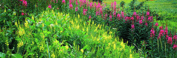 Fireweed Photograph - Flowers In Bloom, Alaska, Usa by Panoramic Images