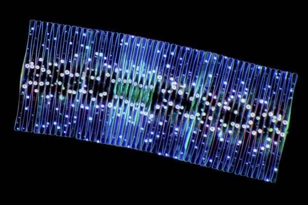 Illuminations Photograph - Fragilaria Diatoms by Marek Mis