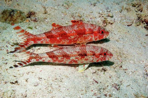 Mabul Photograph - Freckled Goatfish by Georgette Douwma