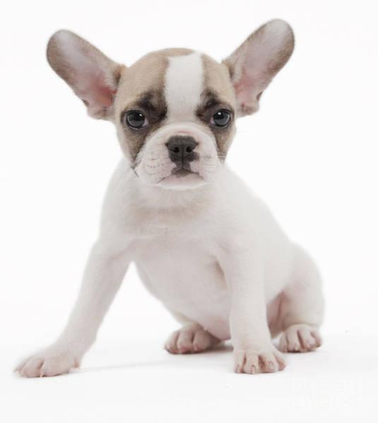 French Bulldog Photograph - French Bulldog Puppy by Jean-Michel Labat