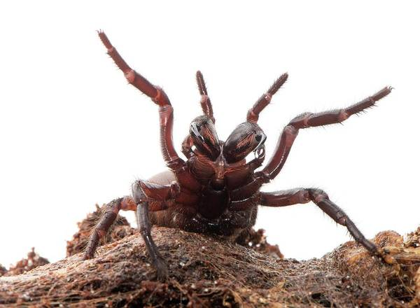 Goliath Photograph - Funnel Web Spider by Louise Murray