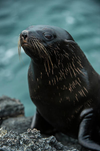 Ecuador Photograph - Galapagos Fur Seal (arctocephalus by Pete Oxford