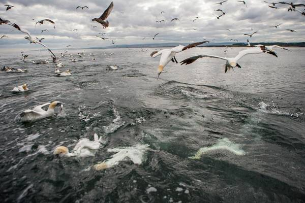 Behaviour Photograph - Gannets And Gulls Fishing by Lewis Houghton/science Photo Library