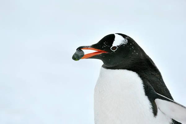 Gentoo Wall Art - Photograph - Gentoo Penguin by Dr P. Marazzi