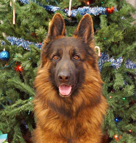 Photograph - German Shepherd Christmas Card by Sandy Keeton