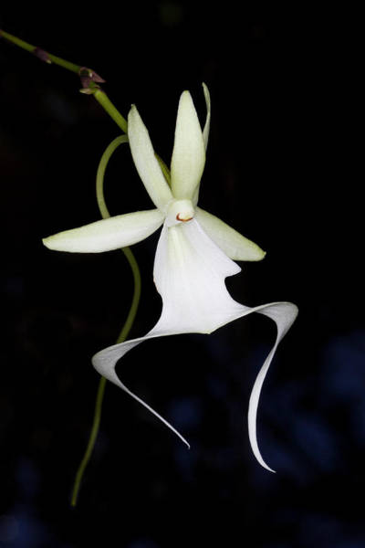 Freshwater Photograph - Ghost Orchid In Bloom, Polyrrhiza by Maresa Pryor