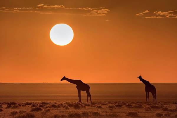 Wall Art - Photograph - Giraffes At Sunset by Tony Camacho/science Photo Library