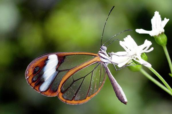 Wall Art - Photograph - Glasswing Butterfly by Sinclair Stammers/science Photo Library