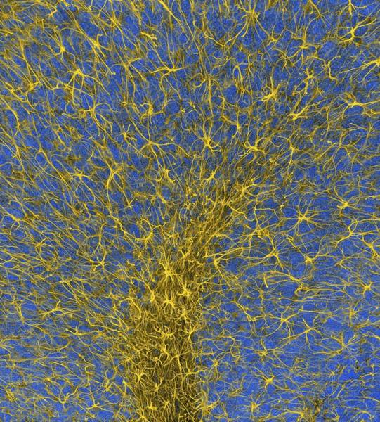 Wall Art - Photograph - Glial Cells by Thomas Deerinck, Ncmir