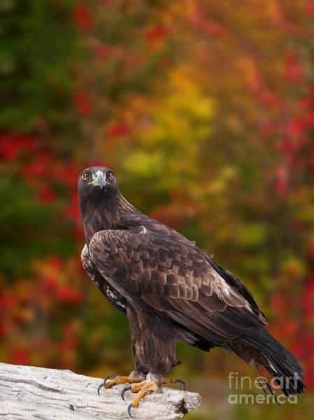 Photograph - Golden Eagle by Les Palenik