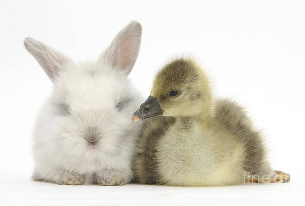 Goslings Wall Art - Photograph - Gosling And Baby Bunny by Mark Taylor