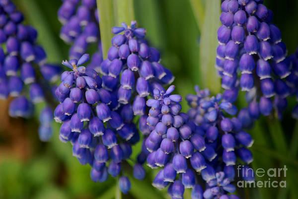 Photograph - Grape Hyacinth by Mark Dodd