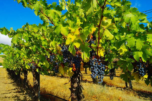 Swan Valley Photograph - Grapes On The Vine by Jeff Swan