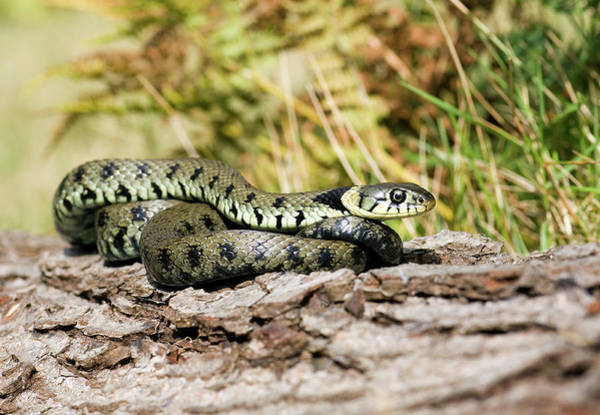 Grass Snake Photograph - Grass Snake by John Devries/science Photo Library
