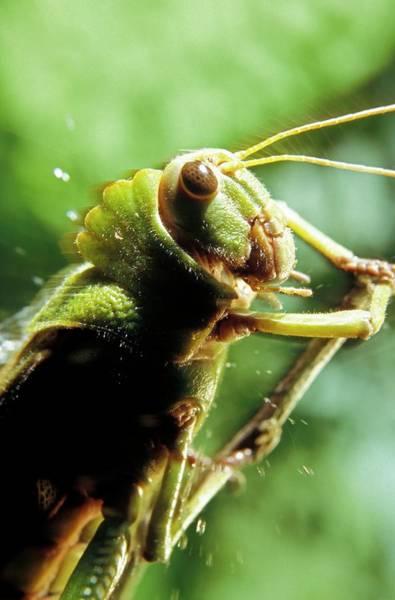 Grasshopper Photograph - Grasshopper by Patrick Landmann/science Photo Library