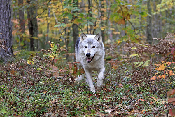 Timber Wolves Photograph - Gray Timber Wolf, Canis Lupus by M. Watson