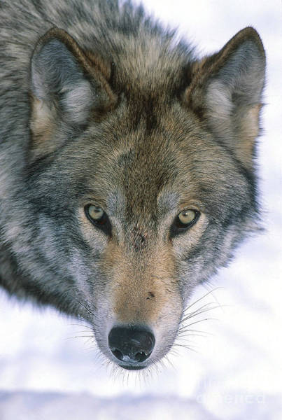 Timber Wolves Photograph - Gray Wolf by Jeffrey Lepore