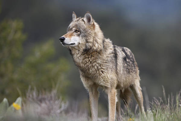 Wall Art - Photograph - Gray Wolf  North America by Tim Fitzharris