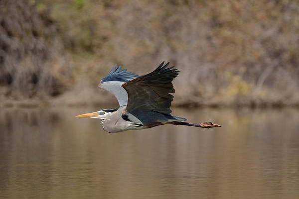 Wall Art - Photograph - Great Blue Heron In Flight by Craig K. Lorenz