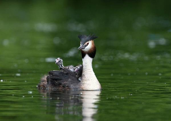 Wall Art - Photograph - Great Crested Grebe Carrying Its Chicks by Dr P. Marazzi/science Photo Library