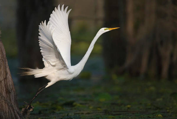 Bald Cypress Wall Art - Photograph - Great Egret (ardea Alba by Larry Ditto