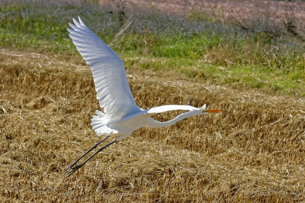 Photograph - Great Egret by Jim Thompson