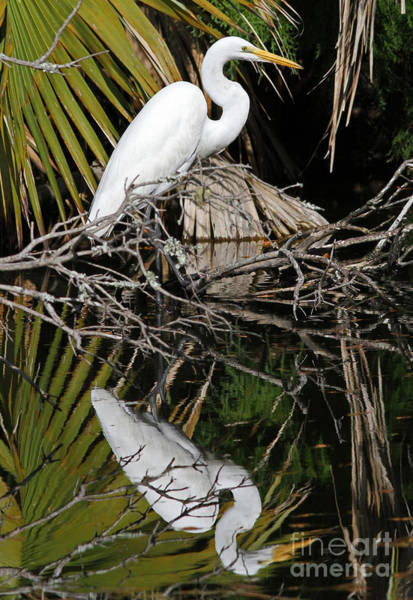 Photograph - Great Egret by Kevin McCarthy