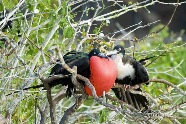 Gular Photograph - Great Frigatebird Pair by William H. Mullins