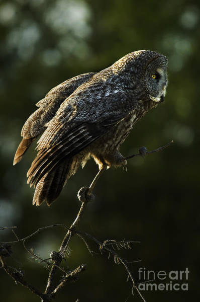 Owl In Flight Photograph - Great Grey Owl by Bob Christopher