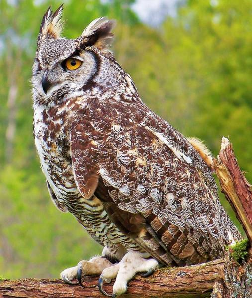 Photograph - Great Horned Owl by Al Fritz