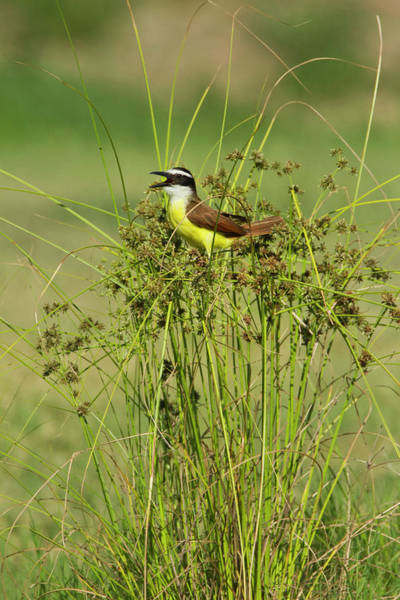 Hidalgo Photograph - Great Kiskadee (pitangus Sulphuratus by Larry Ditto