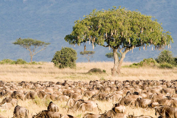 Migrate Photograph - Great Migration Of Wildebeests, Masai by Panoramic Images