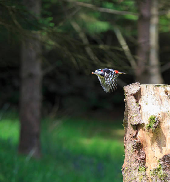 Wall Art - Photograph - Great Spotted Woodpecker by Louise Heusinkveld