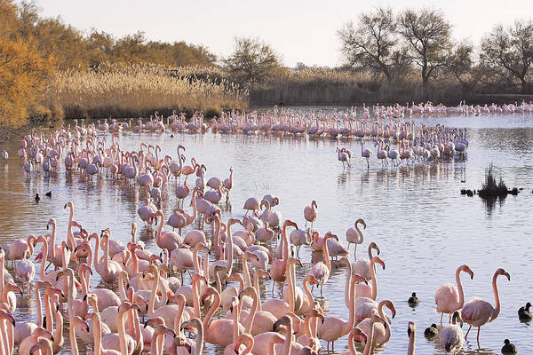 Phoenicopterus Roseus Wall Art - Photograph - Greater Flamingos, France by M. Watson