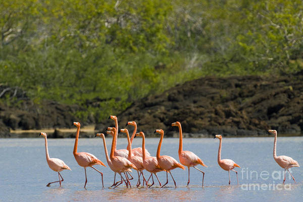 Phoenicopterus Roseus Wall Art - Photograph - Greater Flamingos by William H. Mullins