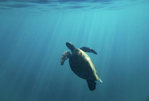 Wall Art - Photograph - Green Sea Turtle Swimming by Animal Images