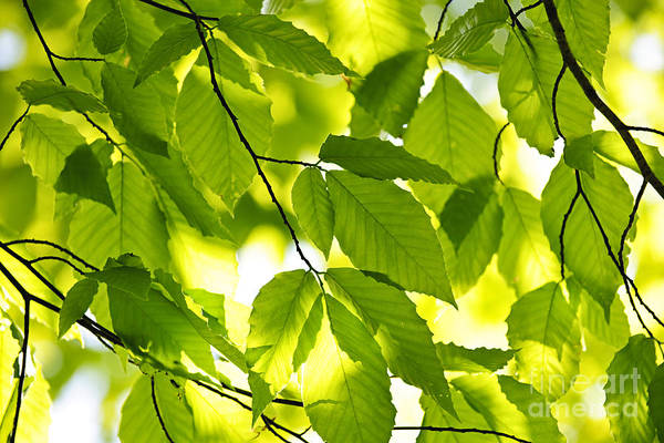 Wall Art - Photograph - Green Spring Leaves by Elena Elisseeva