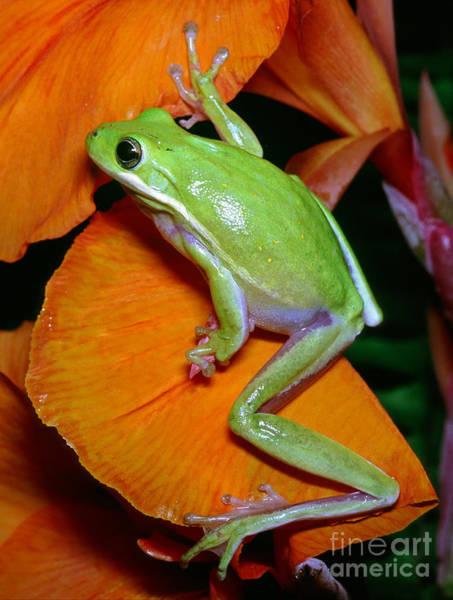 Photograph - Green Tree Frog by Millard H Sharp