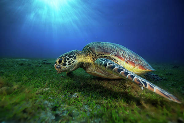 Wall Art - Photograph - Green Turtle by Barathieu Gabriel